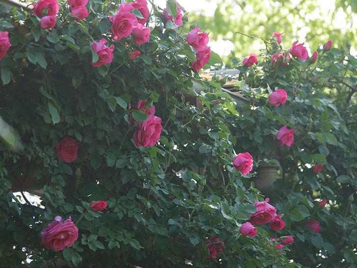 ツルうらら(Urara Climbing)の花がかなり咲いた。ツルバラ。2021年-035.jpg