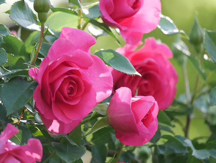 ツルうらら(Urara Climbing)の花がかなり咲いた。ツルバラ。2021年-037.jpg