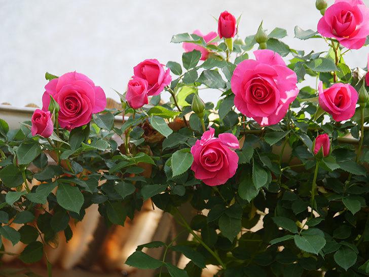 ツルうらら(Urara Climbing)の花がかなり咲いた。ツルバラ。2021年-039.jpg