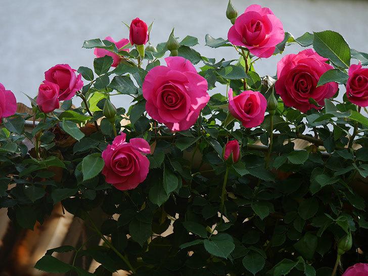 ツルうらら(Urara Climbing)の花がかなり咲いた。ツルバラ。2021年-040.jpg