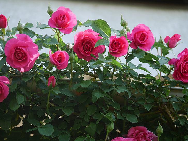 ツルうらら(Urara Climbing)の花がかなり咲いた。ツルバラ。2021年-041.jpg