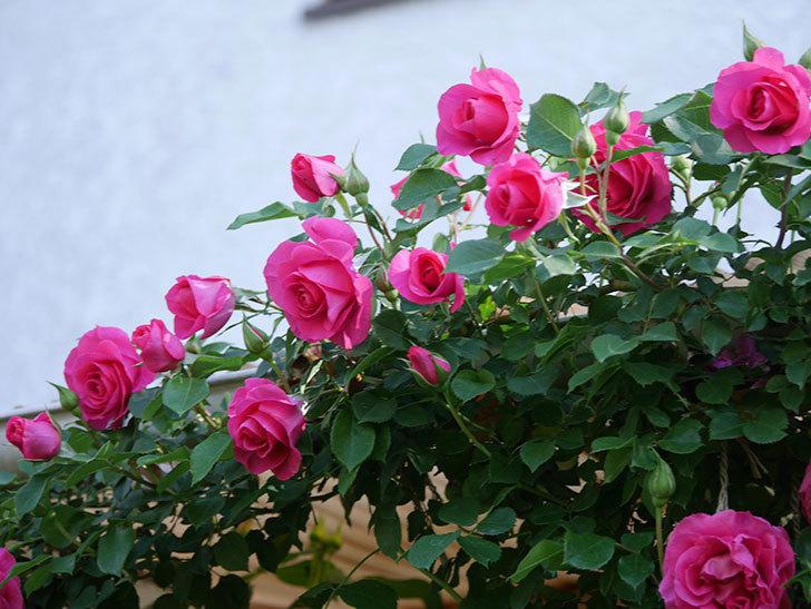 ツルうらら(Urara Climbing)の花がかなり咲いた。ツルバラ。2021年-043.jpg