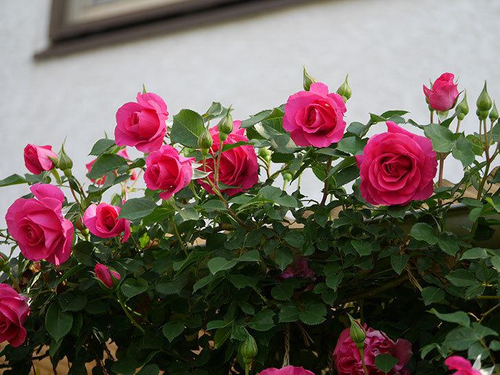 ツルうらら(Urara Climbing)の花がかなり咲いた。ツルバラ。2021年-044.jpg
