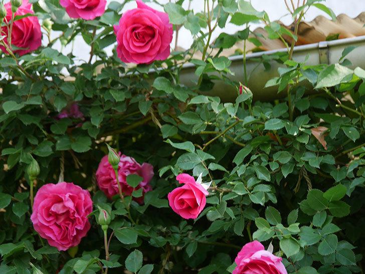 ツルうらら(Urara Climbing)の花がかなり咲いた。ツルバラ。2021年-045.jpg