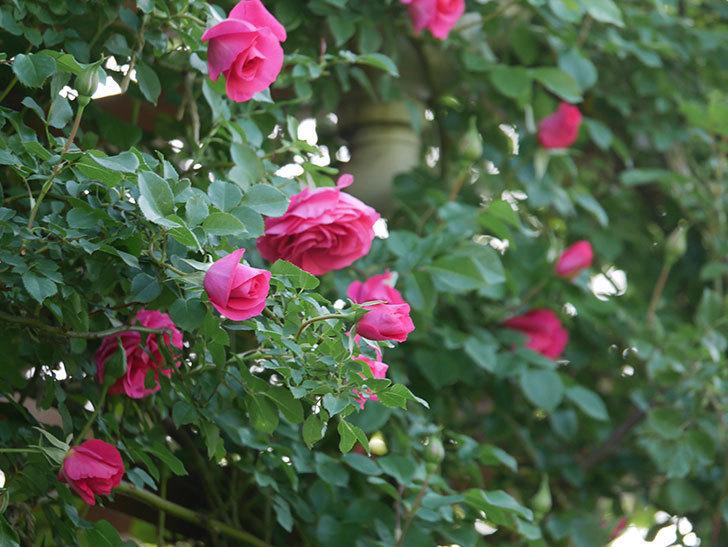 ツルうらら(Urara Climbing)の花がかなり咲いた。ツルバラ。2021年-048.jpg