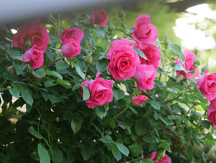 ツルうらら(Urara Climbing)の花がかなり咲いた。ツルバラ。2021年-049.jpg