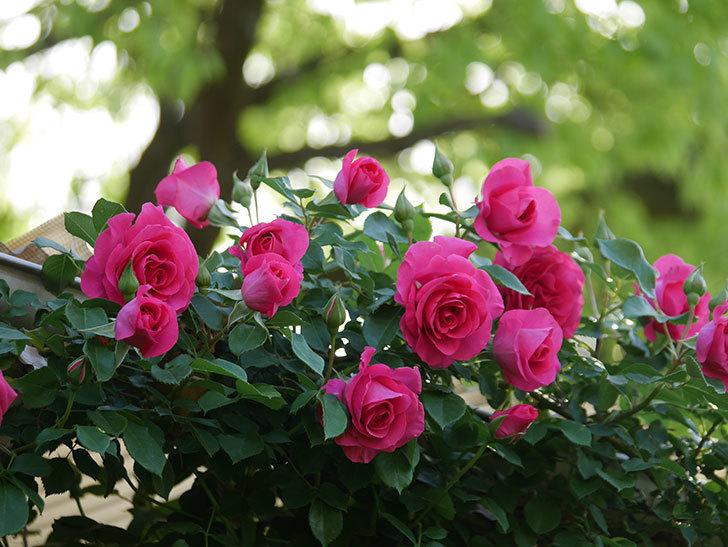 ツルうらら(Urara Climbing)の花がかなり咲いた。ツルバラ。2021年-051.jpg