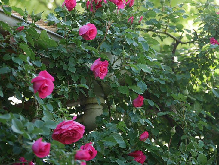 ツルうらら(Urara Climbing)の花がかなり咲いた。ツルバラ。2021年-060.jpg