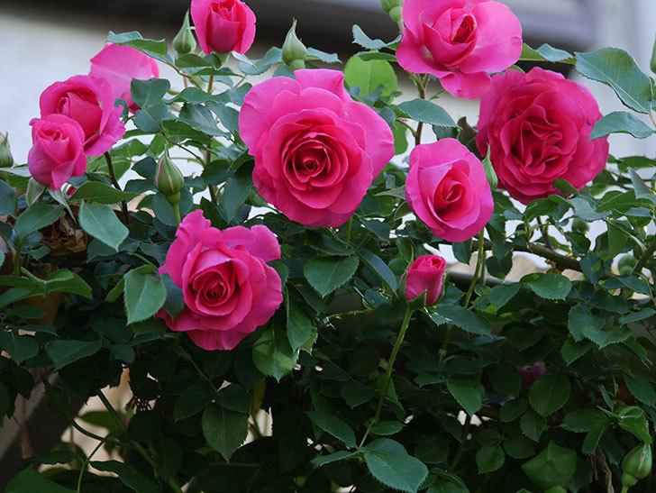 ツルうらら(Urara Climbing)の花がかなり咲いた。ツルバラ。2021年-061.jpg