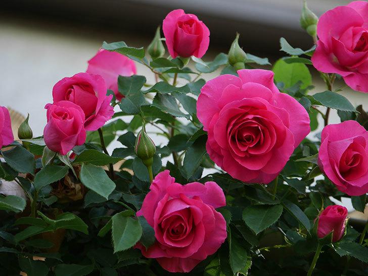 ツルうらら(Urara Climbing)の花がかなり咲いた。ツルバラ。2021年-063.jpg