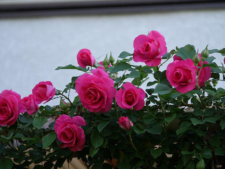 ツルうらら(Urara Climbing)の花がかなり咲いた。ツルバラ。2021年-065.jpg