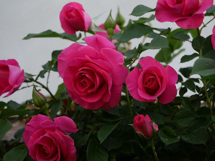 ツルうらら(Urara Climbing)の花がかなり咲いた。ツルバラ。2021年-066.jpg