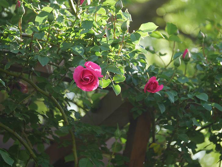 ツルうらら(Urara Climbing)の花がかなり咲いた。ツルバラ。2021年-067.jpg