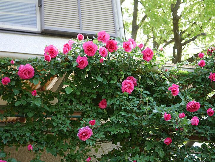 ツルうらら(Urara Climbing)の花がかなり咲いた。ツルバラ。2021年-069.jpg