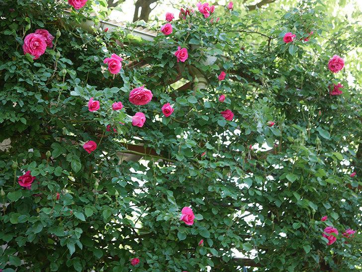 ツルうらら(Urara Climbing)の花がかなり咲いた。ツルバラ。2021年-071.jpg