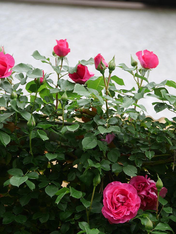 ツルうらら(Urara Climbing)の花が増えてきた。ツルバラ。2021年-035.jpg