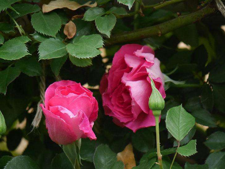 ツルうらら(Urara Climbing)の花が少しずつ増えてきた。ツルバラ。2021年-040.jpg