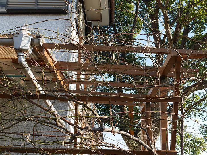 ツルうらら(Urara Climbing)の誘引。(3)パーゴラの上側の誘引をした。ツルバラ。2021年-016.jpg