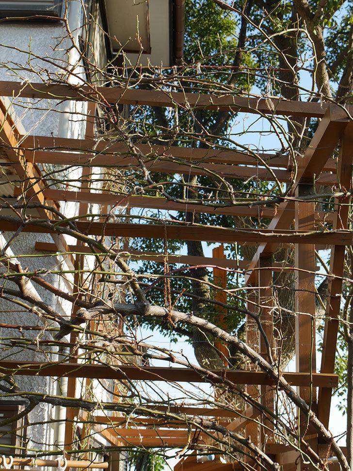 ツルうらら(Urara Climbing)の誘引。(3)パーゴラの上側の誘引をした。ツルバラ。2021年-017.jpg