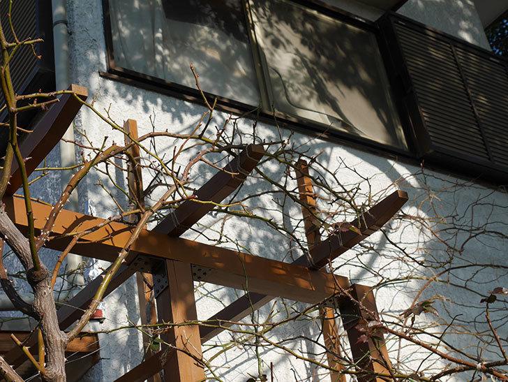 ツルうらら(Urara Climbing)の誘引。(3)パーゴラの上側の誘引をした。ツルバラ。2021年-022.jpg