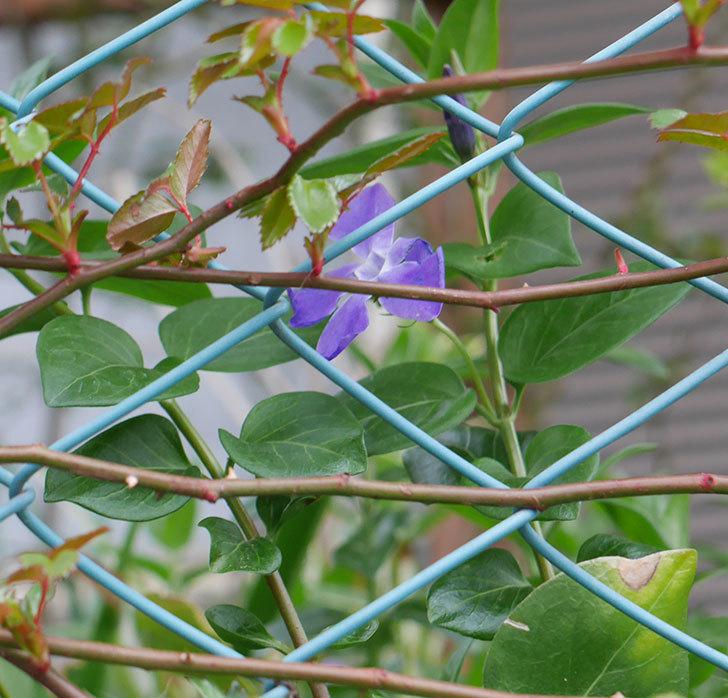 ツルニチニチソウの花がまた咲いた。2019年-8.jpg