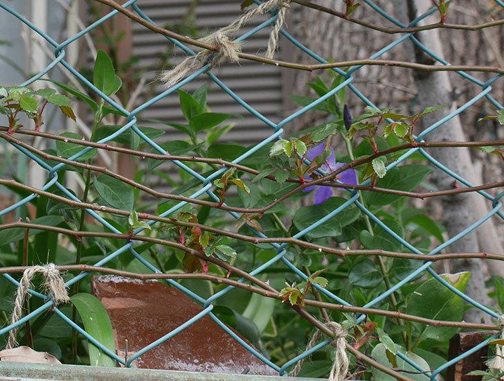 ツルニチニチソウの花がまた咲いた。2019年-9.jpg