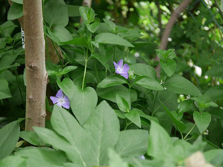 ツルニチニチソウの花が咲いた。2020年-5.jpg