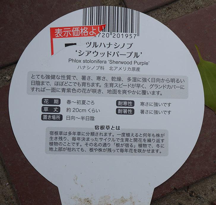 ツルハナシノブ-シアウッドパープルがケイヨーデイツーで7個買って来た。2019年-4.jpg