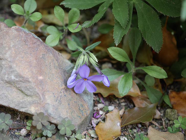 ツルハナシノブ-シアウッドパープルの花が咲きだした。2020年-2.jpg