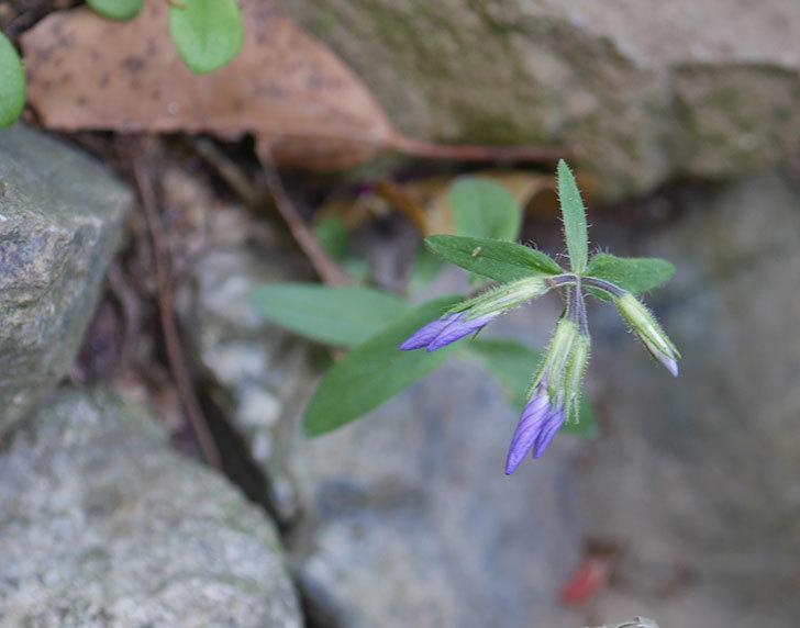 ツルハナシノブ-シアウッドパープルの花が咲きだした。2020年-3.jpg