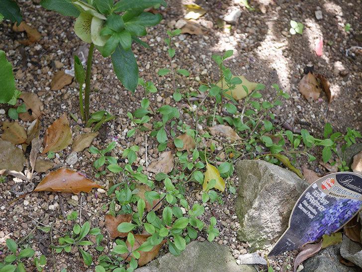 ツルハナシノブ-シアウッドパープルの花が咲きだした。2020年-4.jpg