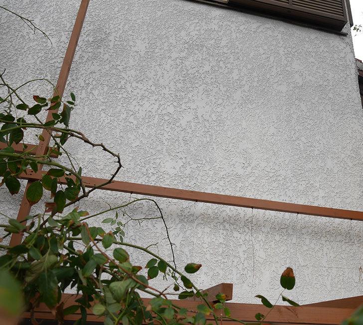 ツルバラの誘引を解いてパーゴラと物干し台に木部保護塗料を塗った。2018年-5.jpg