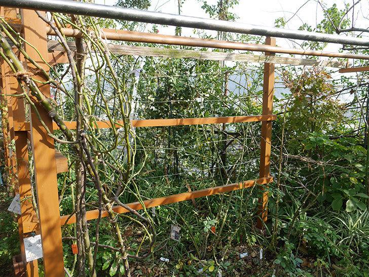 ツルバラの誘引を解いてパーゴラと物干し台に木部保護塗料を塗った(4)。2019年-3.jpg
