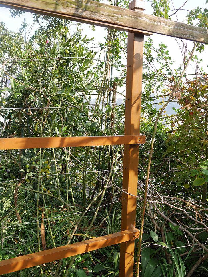 ツルバラの誘引を解いてパーゴラと物干し台に木部保護塗料を塗った(4)。2019年-5.jpg