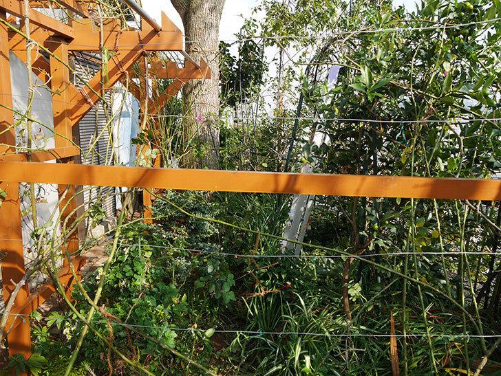 ツルバラの誘引を解いてパーゴラと物干し台に木部保護塗料を塗った(4)。2019年-6.jpg