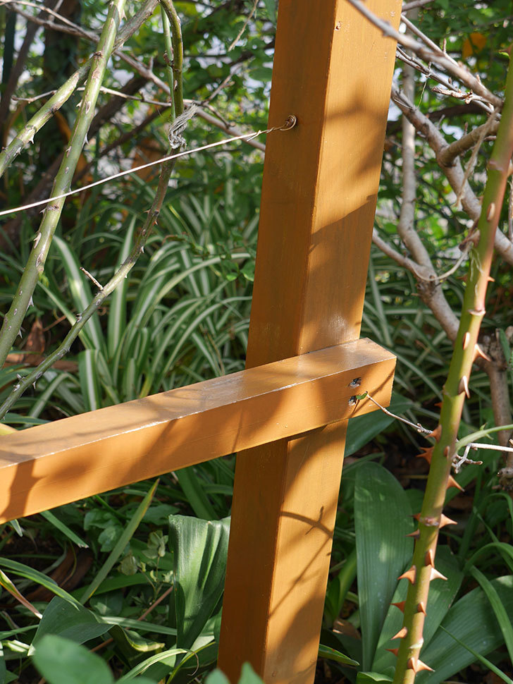 ツルバラの誘引を解いてパーゴラと物干し台に木部保護塗料を塗った(4)。2019年-7.jpg