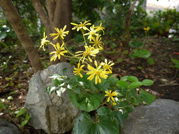 ツワブキ(石蕗)の花が咲いた1.jpg
