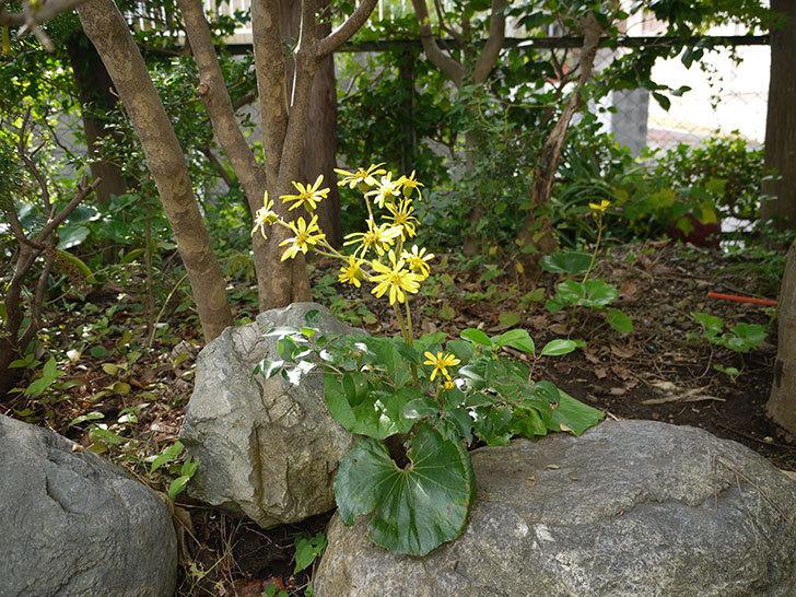 ツワブキ(石蕗)の花が咲いた2.jpg