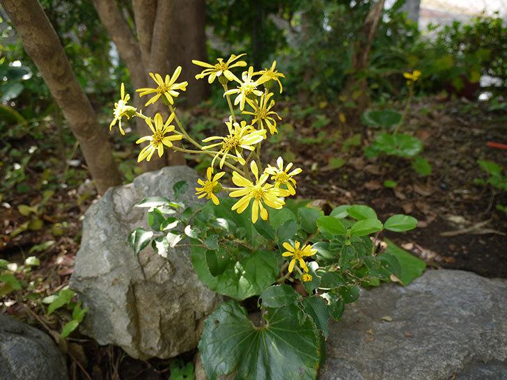 ツワブキ(石蕗)の花が咲いた3.jpg