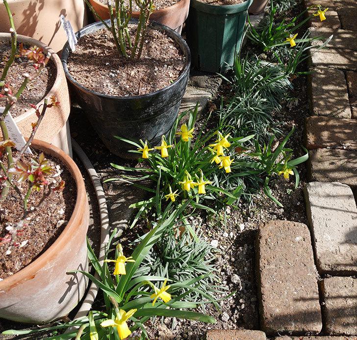 テタテート(ミニスイセン)がたくさん咲いた。2018年-6.jpg