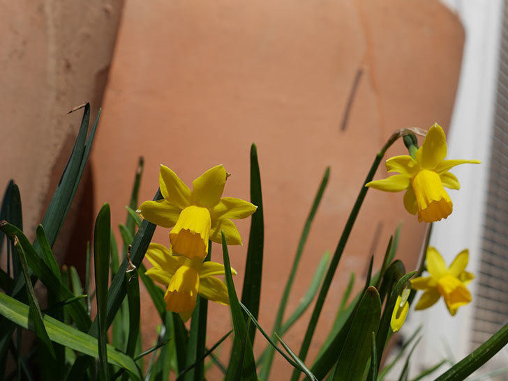 テタテート(ミニスイセン)がたくさん咲いた。2019年-10.jpg