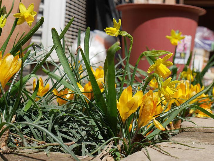 テタテート(ミニスイセン)がたくさん咲いた。2019年-11.jpg