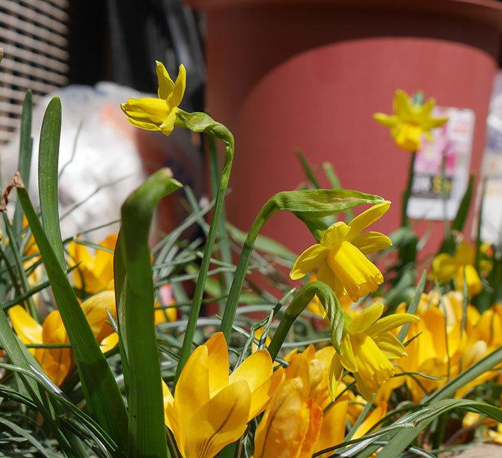 テタテート(ミニスイセン)がたくさん咲いた。2019年-12.jpg