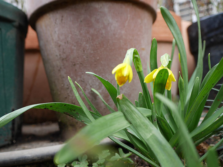 テタテート(ミニスイセン)が咲きだした。2018年-4.jpg
