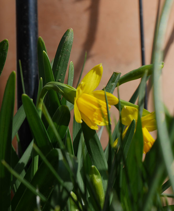 テタテート(ミニスイセン)が咲きだした。2020年-6.jpg