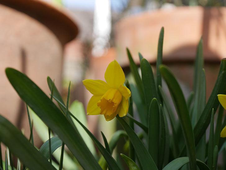 テタテート(ミニスイセン)が咲きだした。2020年-8.jpg