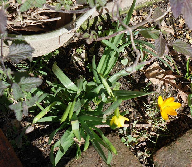 テタテート(ミニスイセン)が少し咲いた。2019年-3.jpg