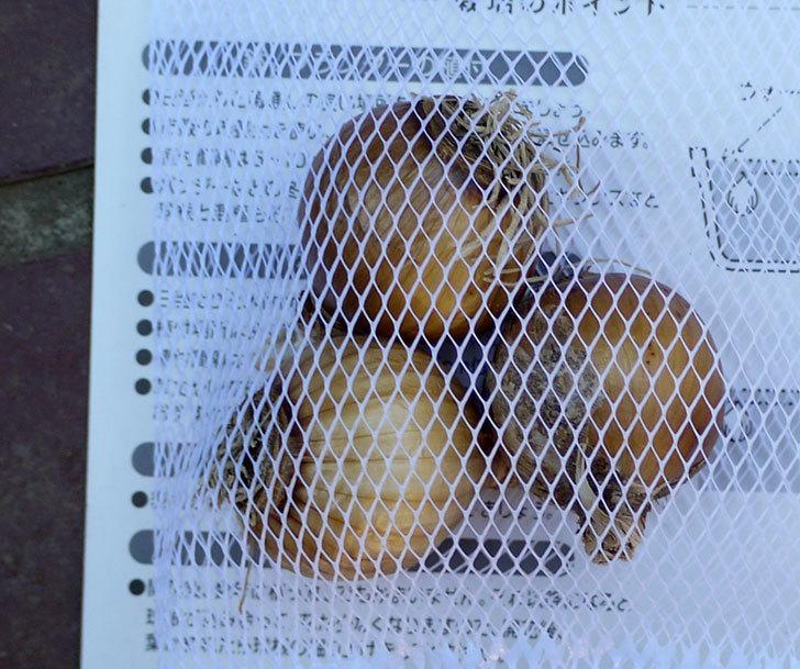 テタテート(ミニスイセン)の3球入り球根買って来た。2016年-3.jpg