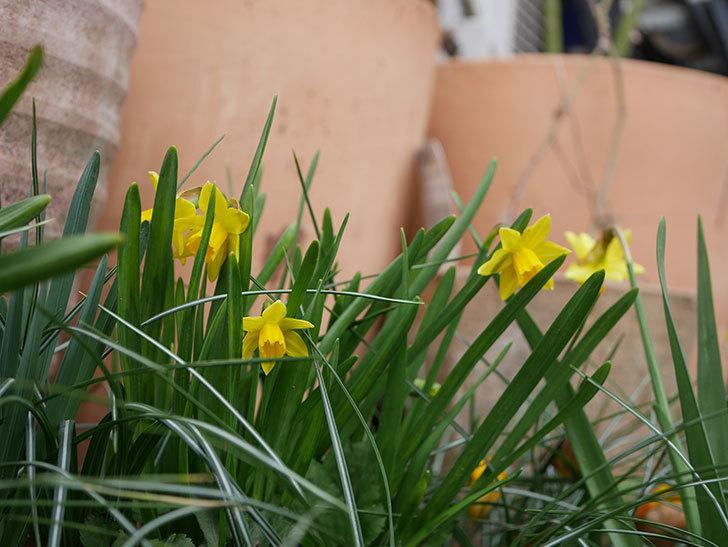 テタテート(ミニスイセン)の花がたくさん咲いた。2020年-10.jpg