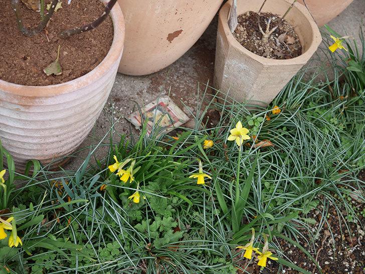 テタテート(ミニスイセン)の花がたくさん咲いた。2020年-4.jpg